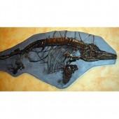 Replica Ichthyosaur Fossil