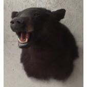 Canadian Black Bear Head