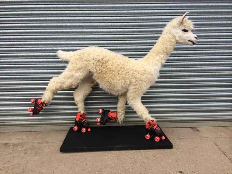 Alpaca On Skates Sold